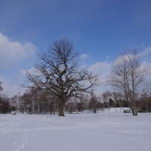カシワの大木