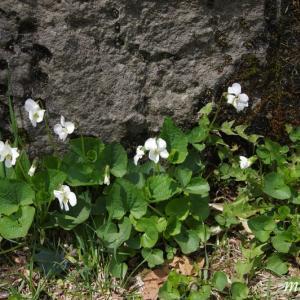 支笏湖散策コースの花