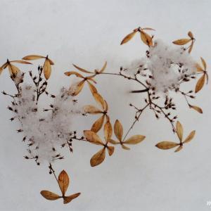 雪化粧のアジサイ