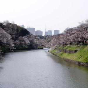 千鳥ヶ淵    ~早くも桜が見ごろです~
