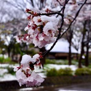 なごり雪     ~ 雪 桜 ~