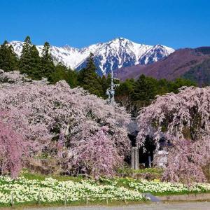 駒ヶ根 光前寺の枝垂れ桜