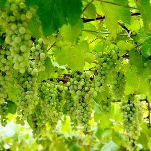 笛吹川フルーツ公園  ~果物が木になっています~