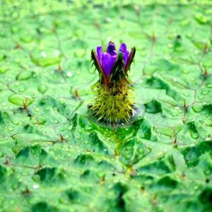絶滅危惧種 オニバスの花