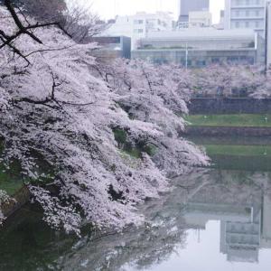 千鳥ヶ淵   桜が満開