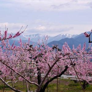 桃の花が満開です。