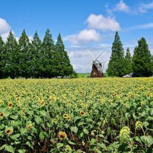 あけぼの山農業公園  ひまわりが見ごろ