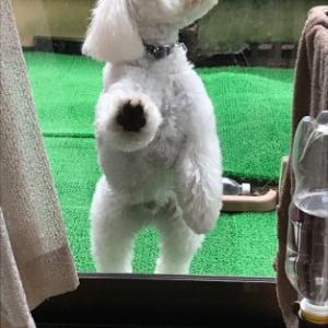雨が多く困る愛犬ミルク(>_
