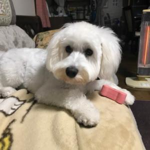 我家の愛犬ミニチュアシュナウザー「ミルク」のスナップ写真