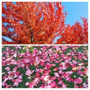 カナダの美しい紅葉、今週ベストでしょうか