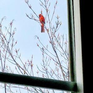 エビマヨ作りました。家に来たカーディナルという鳥、真っ赤で、金魚と海老を思い出しました(笑)。