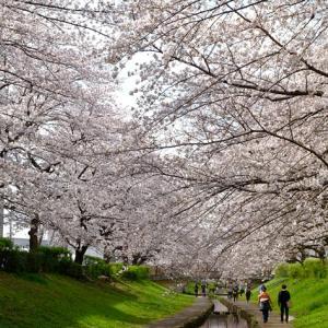 2020 江川せせらぎ緑道の桜