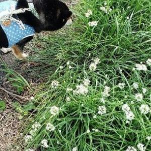 ろく、ニラの花がすごい!