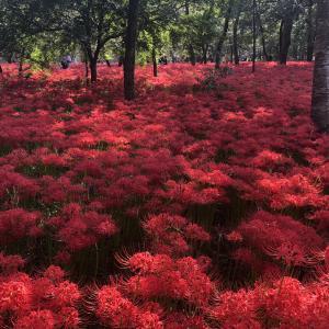 圧巻の赤絨毯〜巾着田