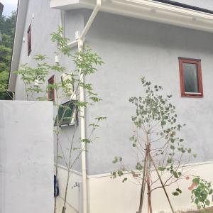 玄関前の植栽*アオダモ・ユーカリポポラス・アナベル