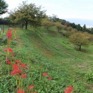 篠窪(しのくぼ)の隣町 大井町農村公園は彼岸花が満開です (速報2019/9/27)