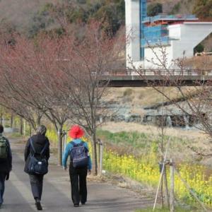 篠窪(しのくぼ)の隣町 風の吊り橋の河津桜が満開です(速報2020/02/19)