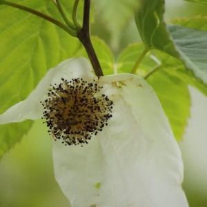 篠窪(しのくぼ)の隣町  四季の里へ行く途中にある【ハンカチの木】と【桐の花】を楽しむ (2020/04/22)