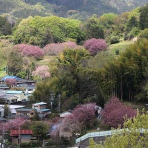 篠窪(しのくぼ)にて「篠窪大橋」から見える超遅咲きの桜が綺麗 (2020/04/22速報)