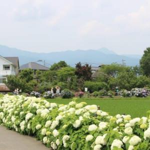 篠窪(しのくぼ)近辺で見れる 紫陽花(2020/06/25)