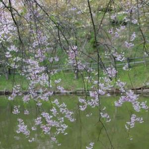篠窪(しのくぼ)の隣町 「最明寺史跡公園」の桜を見に行きました (2021/04/09)