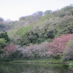 篠窪(しのくぼ)の隣町 「最明寺史跡公園」の変化を楽しむ (2021/04/11)