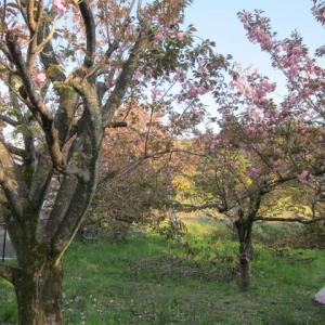 篠窪(しのくぼ)は八重桜が満開で花摘みが始まりました(速報 2021/04/10)