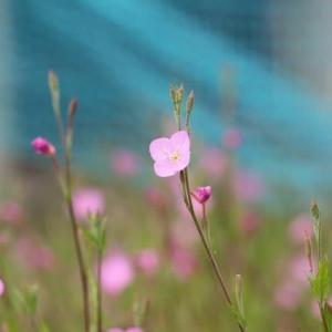 篠窪(しのくぼ)の隣町 秦野市運動公園までの花を楽しむ(2021/05/15)