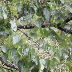 篠窪(しのくぼ)で 超珍しい木「ケンポナシ」を発見(2019/08/04)