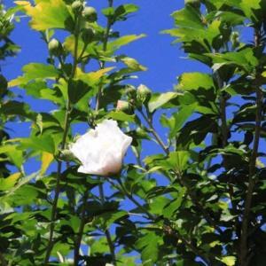 篠窪(しのくぼ)と隣町で見る「ムクゲ」の花(2019/08/10)