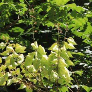篠窪(しのくぼ)の隣町 くず葉の家で見た不思議な木(モクゲンジ)とは (2019/8/08)