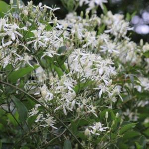 篠窪(しのくぼ)は白い花が良く似合います(2019/08/31)