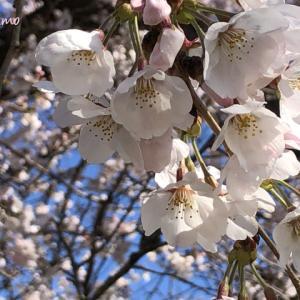 玻璃の桜。