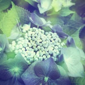 枯れ紫陽花。