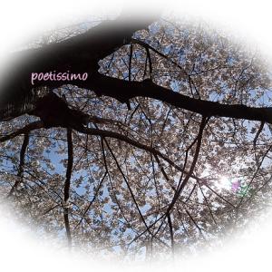 桜花(さくらばな)。