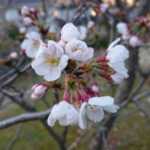 桜~サクラが少し開花してましたぁ~✿