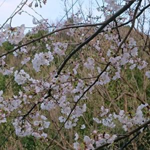 桜ちゃん~&ましゃ祭り♫