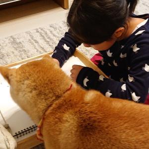 娘に遊んで欲くて絡む犬。#shibainu #shibastagram #犬すきさんと...