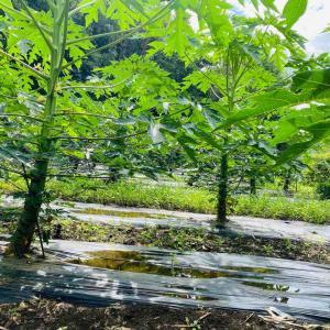 papaya2020、新茶始まってます。