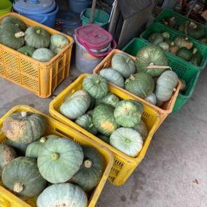 無農薬だけどさwカボチャとナスと、葉っぱとゴーヤと、マコモダケとw