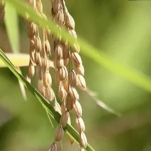 新米の季節、いいお米の見分け方