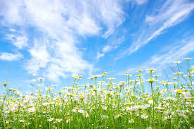 肌荒れや老化肌に〜身近に咲くカモミールが役立つ