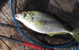 岬海上釣り堀 シマアジ祭り、ビックリ