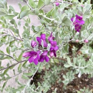 常緑のシルバーリーフに*お花*