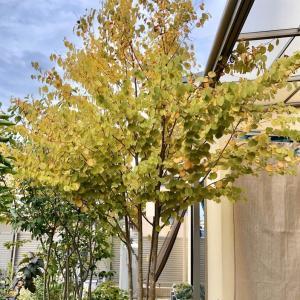 シンボルツリー*カツラの木黄葉*2019