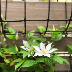 クレマチス2番花