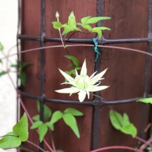 玄関で咲く白い花