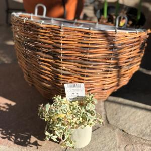 シレネユニフローラをハンギングに&パンジーとチューリップの花壇