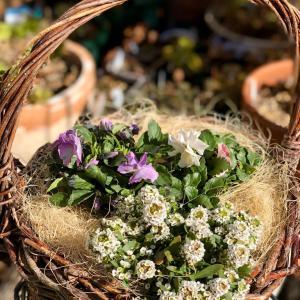花が凍った〜寄せ植えにマルチング