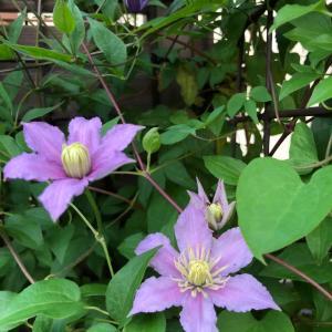 クレマチスピールの2番花